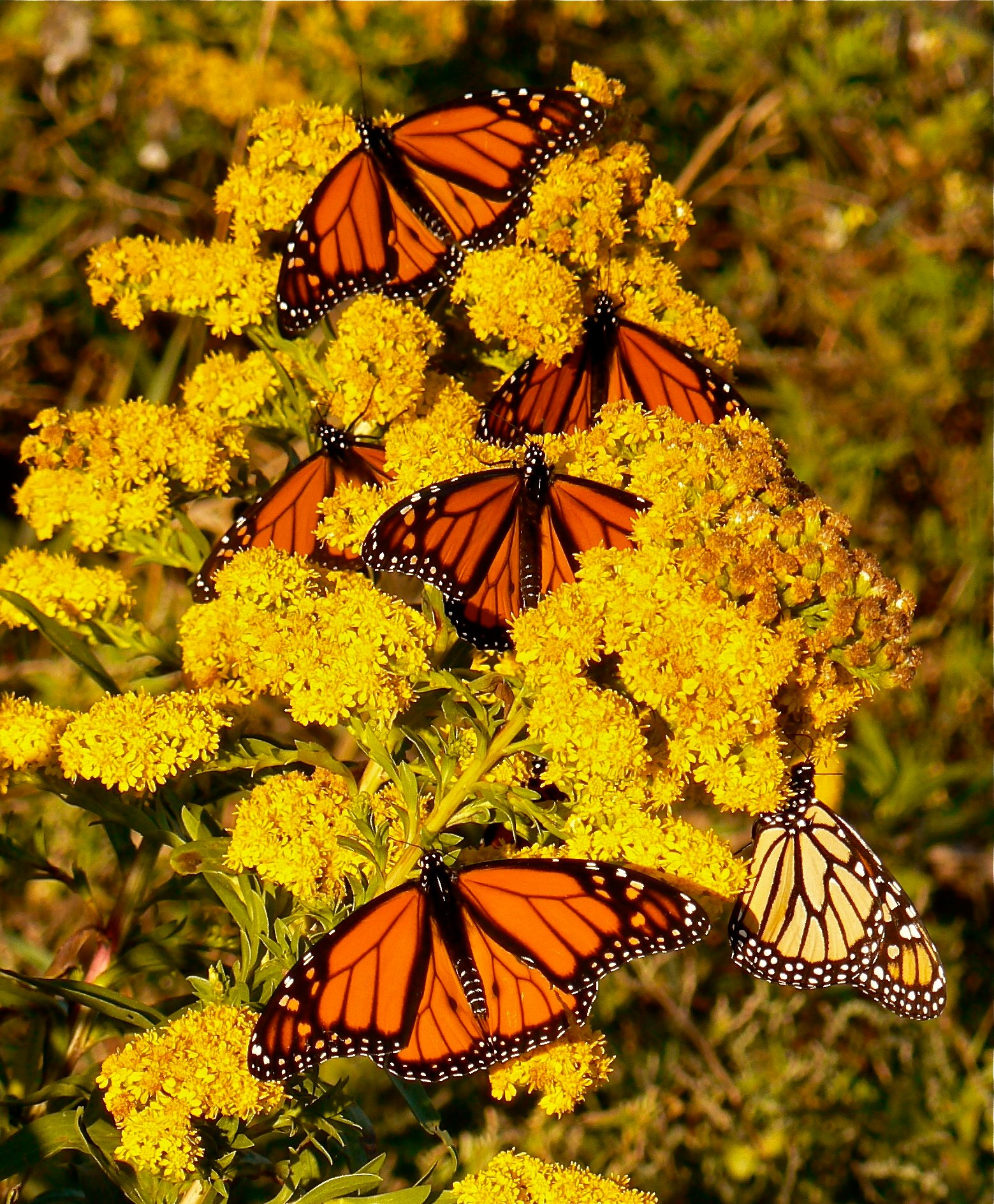male-monarchs-nectaring-seaside-goldenrod