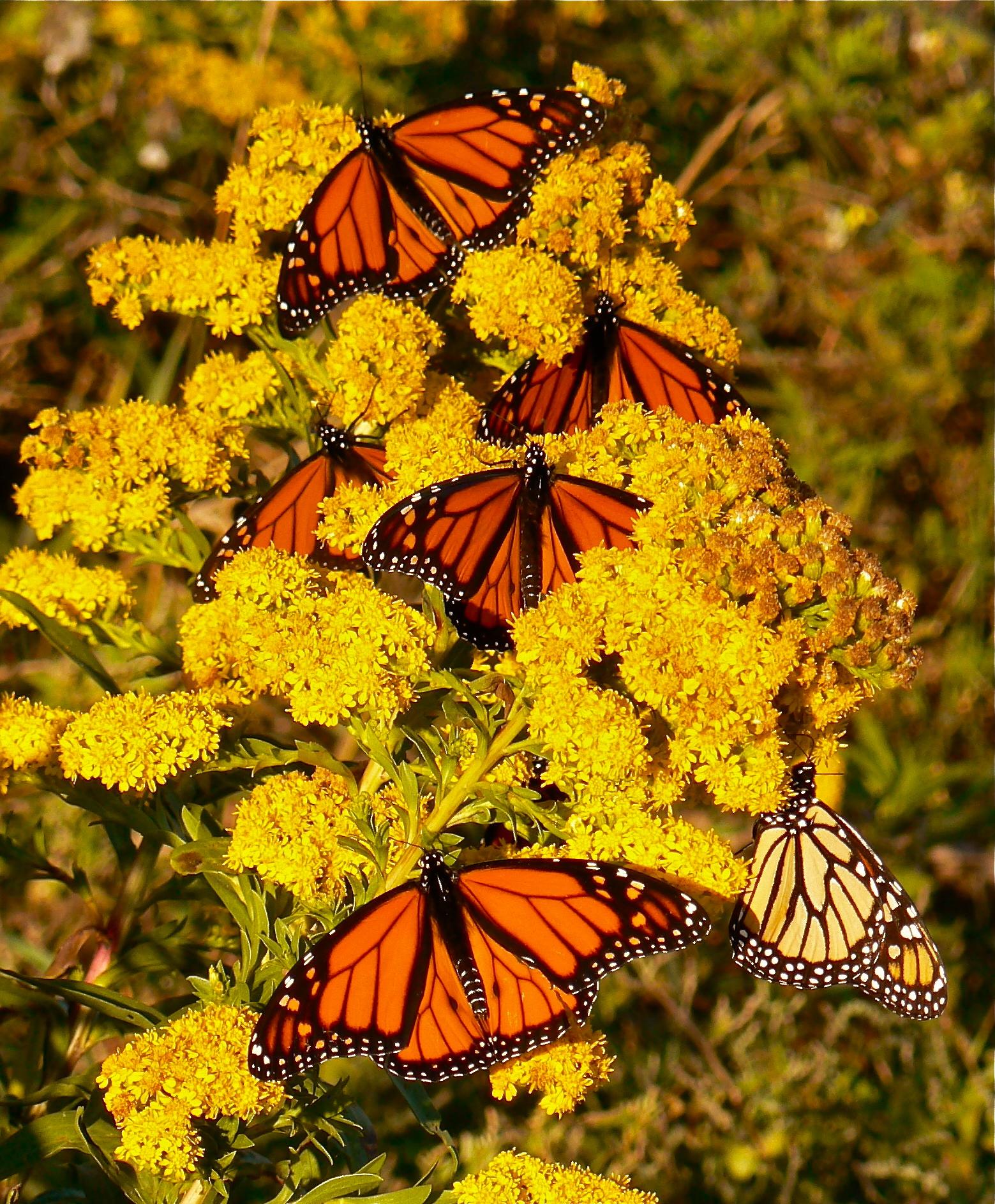 male-monarchs-nectaring-seaside-goldenrod