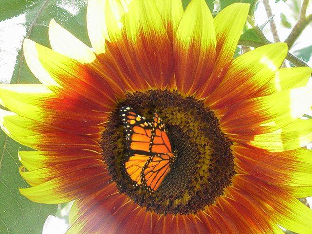 il girasole e la farfalla14